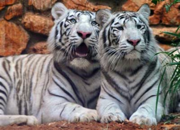 Белые тигры Хайфского зоопарка осиротели