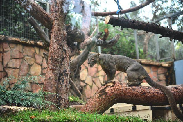 В Хайфском зоопарке пополнение: мадагаскарские хищники!